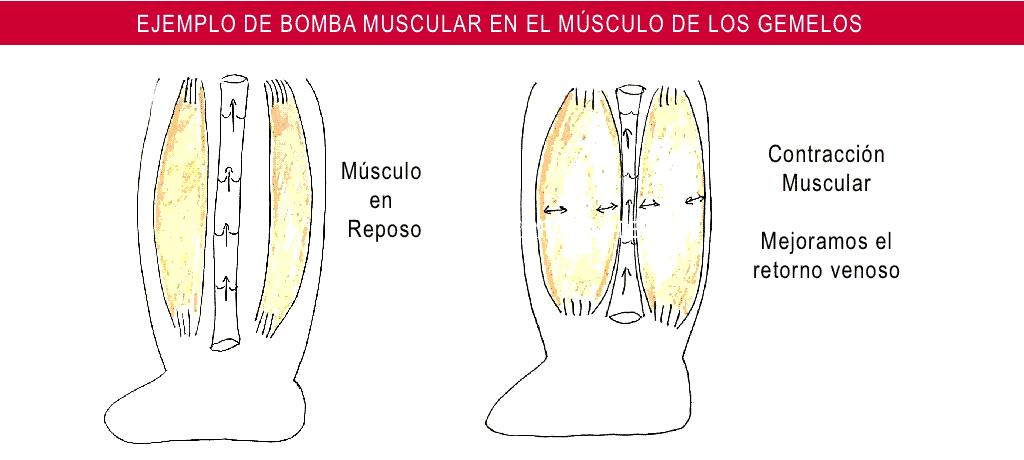 Las venas de los Miembros inferiores - Compartimento de la válvulas y Bomba Músculo Gemelar